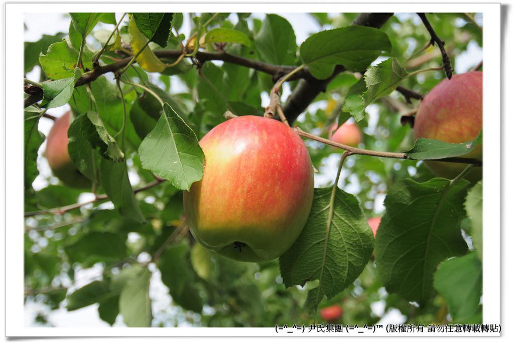 りんご-033