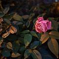 20130106傍晚假文青薔薇