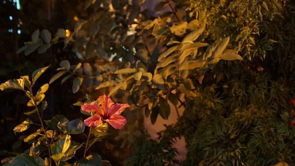 20130106傍晚假文青的花