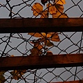 20130106傍晚上帝的葡萄籐