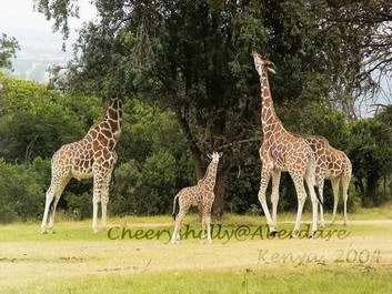 Giraffes in Aberdare