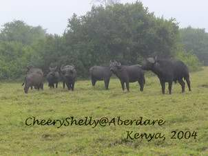 Buffalos in Aberdare