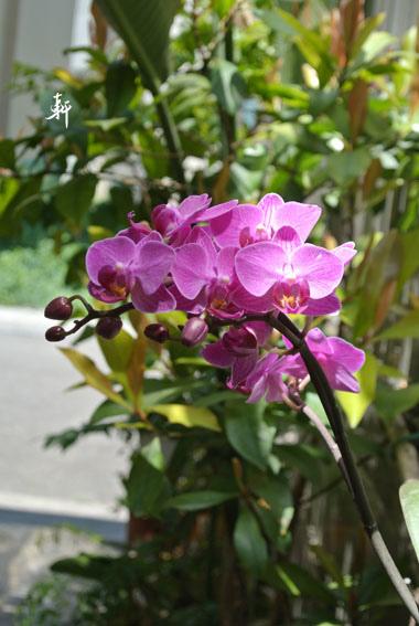 蝴蝶蘭-4.jpg