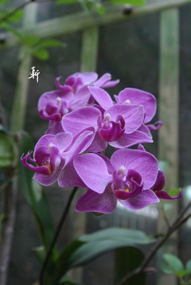 蝴蝶蘭-6.jpg