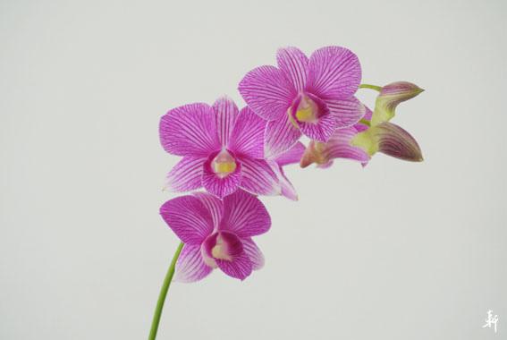 石斛蘭-紫.jpg