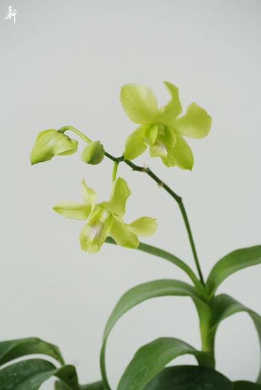綠蘭花.jpg
