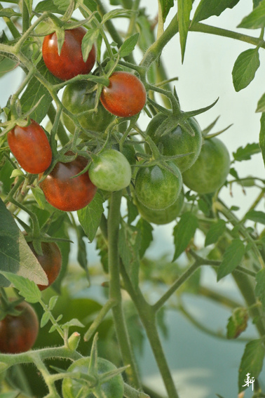番茄-2.jpg
