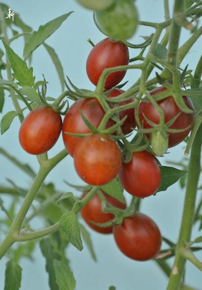 番茄-4.jpg