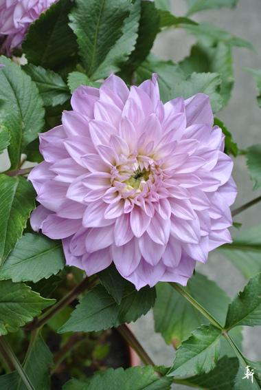 大理花-紫色.jpg