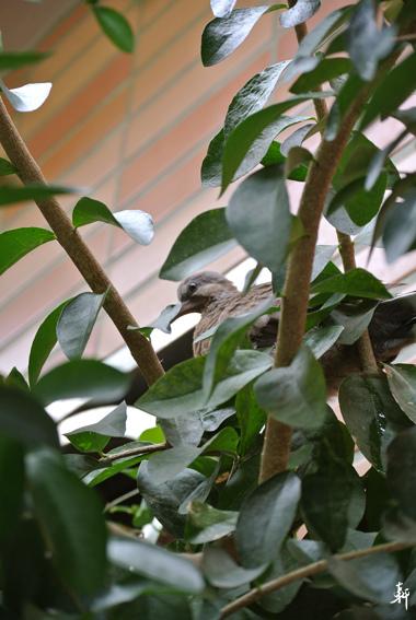 小斑鳩.jpg