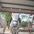 這隻馬真俏皮吶!還吐舌頭