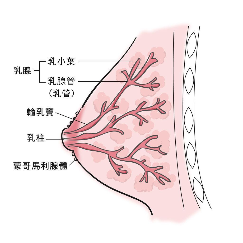 乳房構造-01.jpg