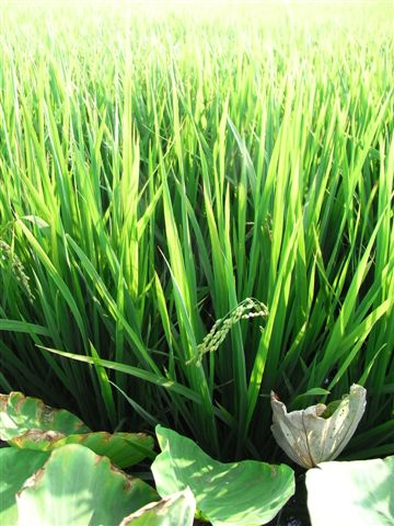 回去的路上,遇見一片的稻田,好綠。
