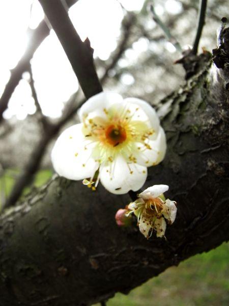 來看看一堆梅花開!