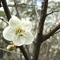 梅園的梅花開了,滿滿的都是梅花。