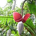 香蕉花!!