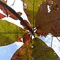 黃了的葉子,高雄的藍天!