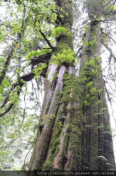 佈滿青苔的巨木