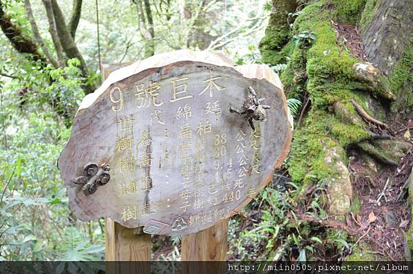 9號巨木是扁柏