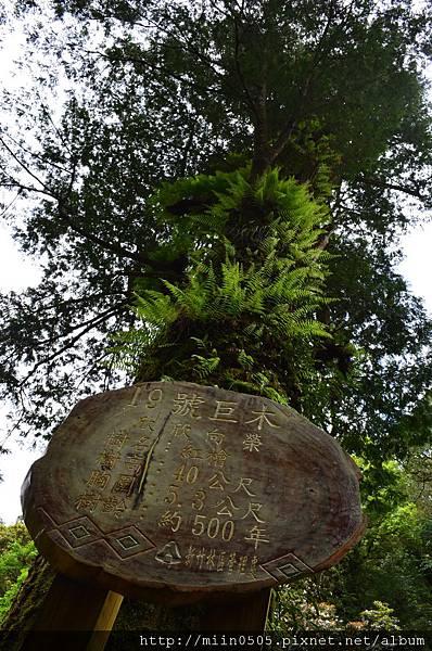 19號巨木