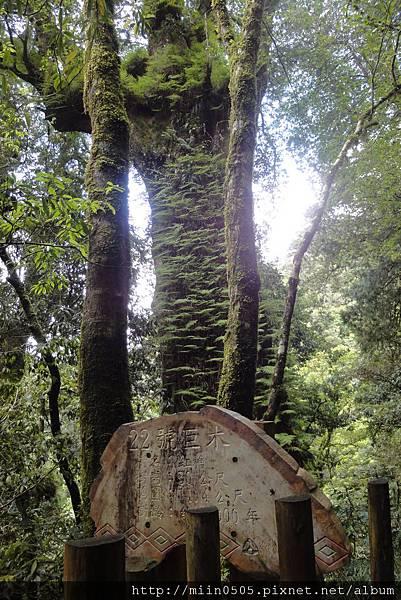 22號巨木