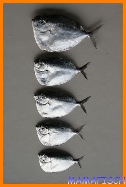 皮刀魚大小比較.jpg