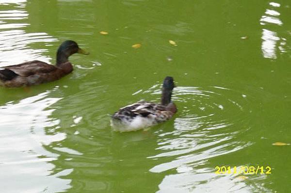 鴨子划水.jpg