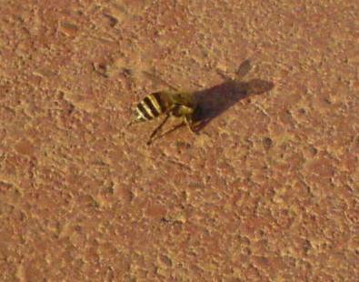在操場發現的蜜蜂