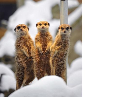 Meerkat-雪中取暖20100203.jpg