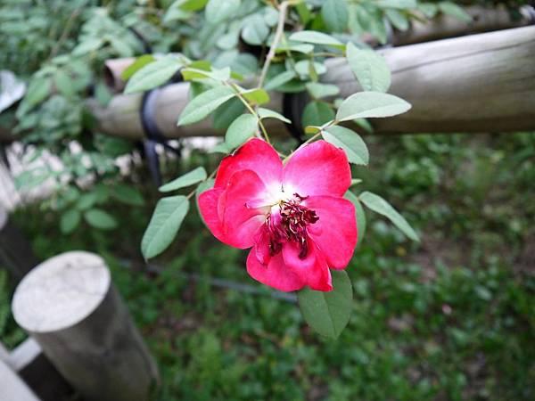 雅聞七里香玫瑰莊園 (83)