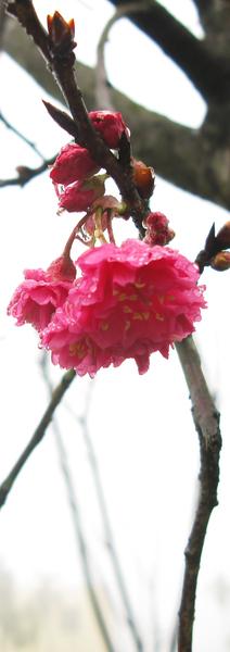 鹿谷-山櫻花