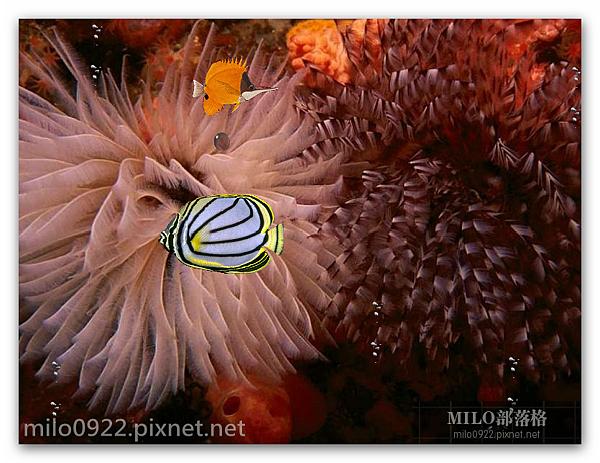 熱帶魚 小畫面Aquarium  milo0922.pixnet.net__005_