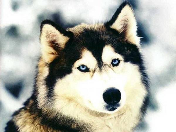 Siberian-Husky-dogs-13788924-1024-768.jpg