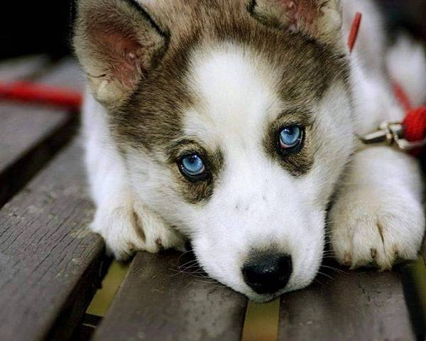 50765-husky-husky-wallpaper-18.jpg