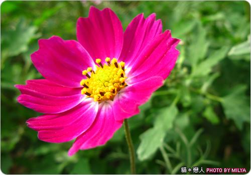 20081226-波斯菊02