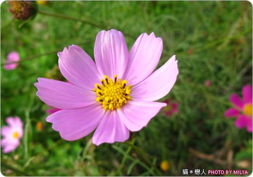 20081226-波斯菊03