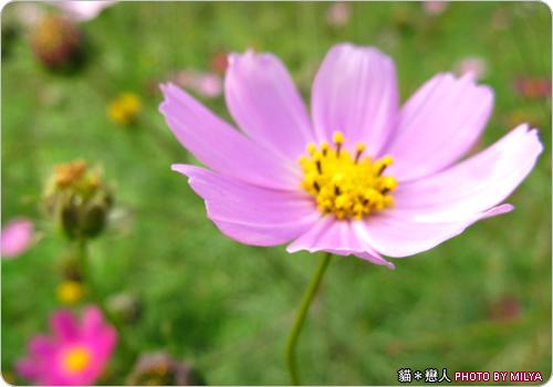 20081226-波斯菊05