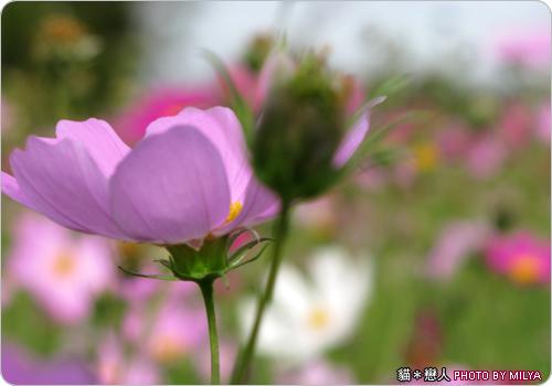20081226-波斯菊06