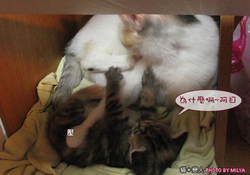 20090329-柑仔與米漿28