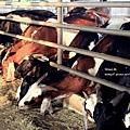 乳牛的家3.JPG