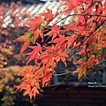 福壽山楓葉8.JPG