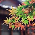 福壽山楓葉11.JPG