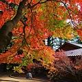 福壽山楓葉17.JPG