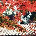 福壽山楓葉18.JPG