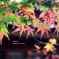 福壽山楓葉24.JPG