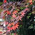 福壽山楓葉25.JPG