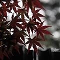 福壽山楓葉26.JPG