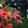 福壽山楓葉32.JPG
