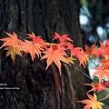 福壽山楓葉33.JPG