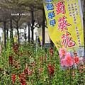 學甲蜀葵4.JPG